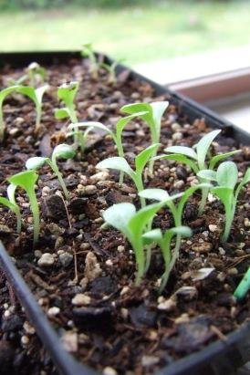 Tiny lettuces.