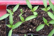 Capsicum (pepper) seedlings.