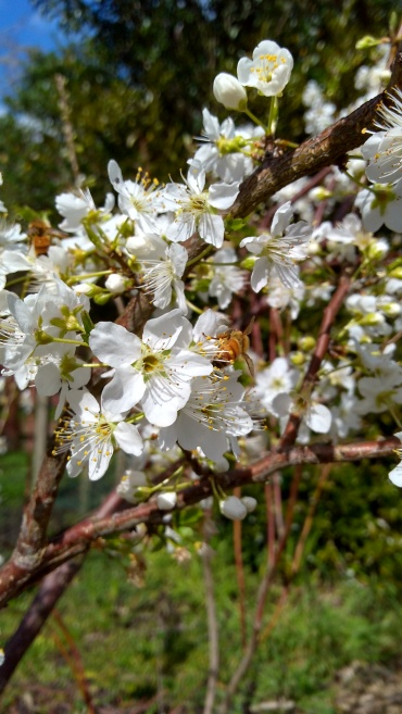 The Billington plum flowers are all but gone already.
