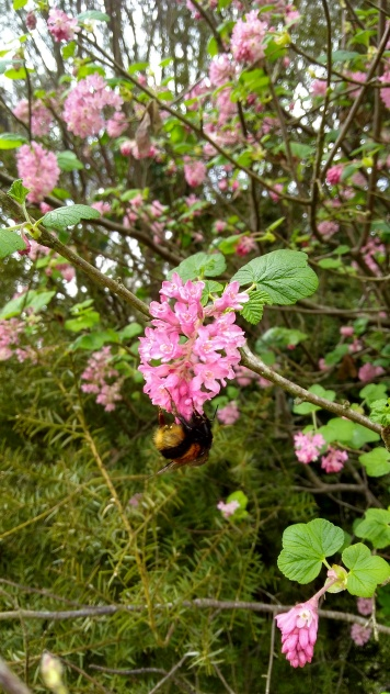 A bumblebee finds the flowering currant. It took me a while to figure out what this shrub was. I'm guessing it could be Ribes sanguineum var. glutinosum.