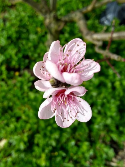 Golden Queen peach tree flowers.