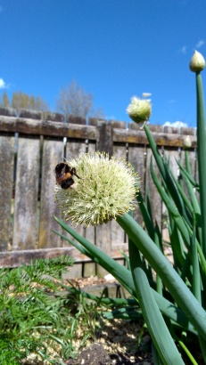 Bunching spring onion flowers are a nice size for bumblebees.