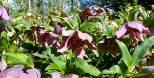 Surrounded by an audience of pretty hellebores.