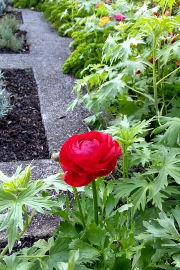 A red ranunculus.