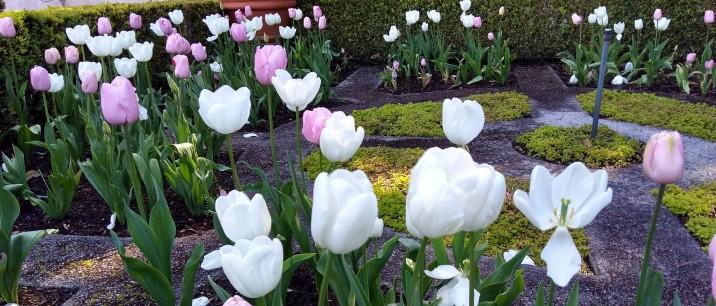 A burst of tulips.