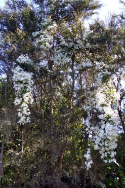 I was stopped in my tracks by the stunning sight of Clematis paniculata flowers draped extravagantly through several kanuka (Kunzea ericoides) trees.