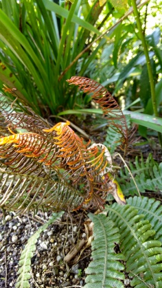 I'm not entirely sure if this is a juvenile crown fern or something else, but its colours are marvellous.
