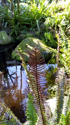 I think this is crown fern (Lomaria discolor, aka Blechnum discolor).