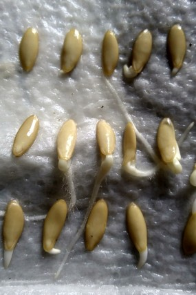Cucumber seeds germinating on wet paper towels in the hot water cupboard.
