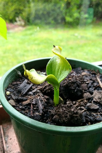 I don't know if this giant pumpkin seedling realises how many hopes and dreams it holds.