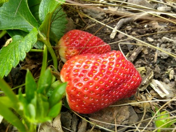 Strawberries in the garden...