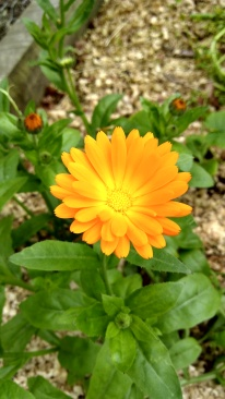 Calendula flowers for the bees. And The Little Fulla.