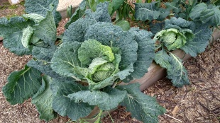 There are lots of cabbages to munch through.