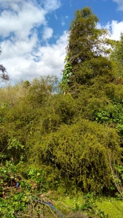 The top half of the totara tree was well and truly out-competed. Poor tree.