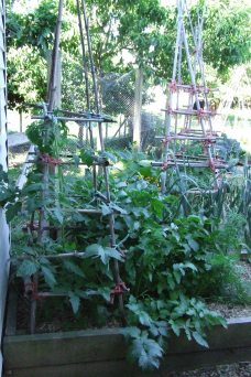 These parsnips probably need to be used sooner or later before they shade out the tomato too much. Parsnips grow so fast here.
