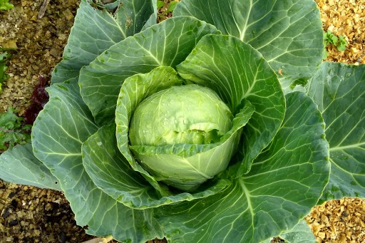 This lovely cabbage was grown from seed by The Little Fulla. I don't know what variety it is. We have been eating a lot of savoy cabbages and a few have been given away. There are still some in the garden that need to be used in the near future.