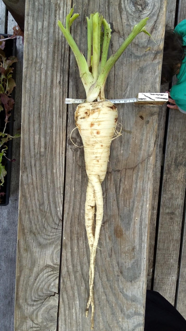 This parsnip was allowed to grow for a while because I was waiting for it to go to seed so I could save some. It didn't. It just got fatter and longer and when I had had enough of its noncompliance it put up a fight when I dug it out. Diameter at the top: 8cm.