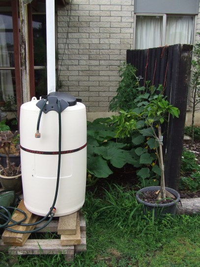 One year ago... There was a dysfunctional rain barrel stand. And weediness. And note the mandarin tree, which will feature later.