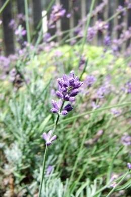 Lavender (Lavandula angustifolia, unknown cultivar) in the Herb Garden.
