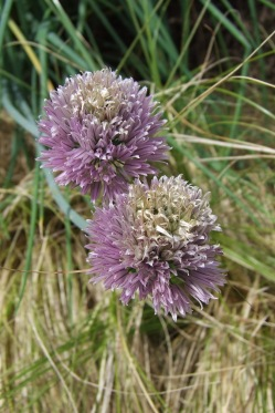 Common chives may be a common herb but the flowers are pretty against a backdrop of Carex albula.
