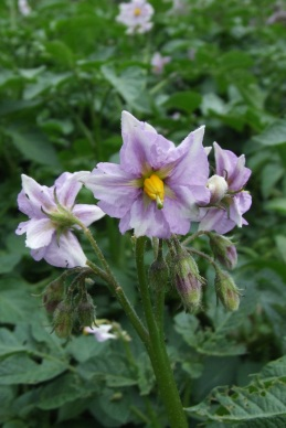 The Summer Delight potatoes do not want to be overlooked with their purple flowers.