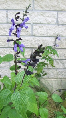 Salvia 'Black and Blue' is a pleasant sort of blue.