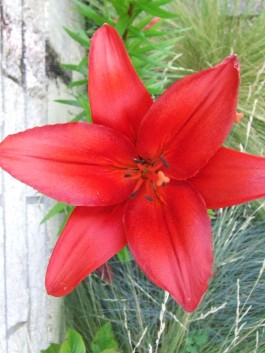This red asiatic lily (Lilium 'Detroit') is always around at Christmas time.