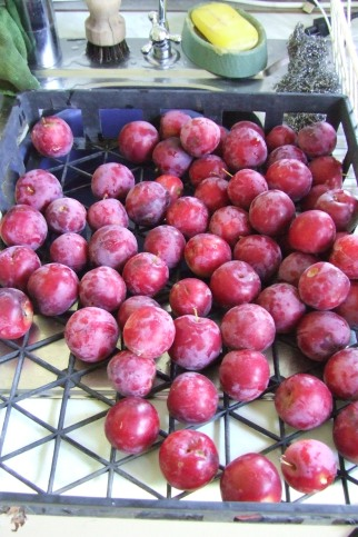 It seems like there's an endless stream of plums.