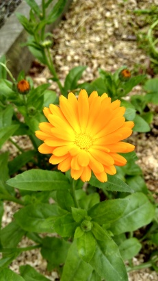 A calendula (Calendula officinalis) in the Vege Garden.