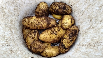 There's nothing like good Agria potatoes.