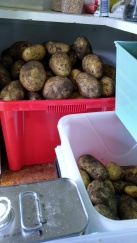 The potato bins are a little full now...