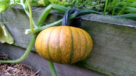 And its buddy, Jack Be What? The green webbing pattern is distinctive of Small Sugar from the pumpkins I grew last season.