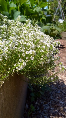 Sweet alyssum (Lobularia maritima) is a Vege Garden flower staple.
