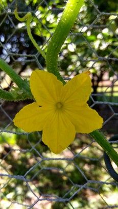 The yellow flowers in my garden are either in the Vege Garden or they're weeds. This is a gherkin cucumber flower.