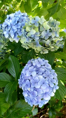 The huge blue hydrangeas are a force to be reckoned with. I'm not a big fan of the blue ones. They're just keeping things interesting until I get around to changing the front garden.