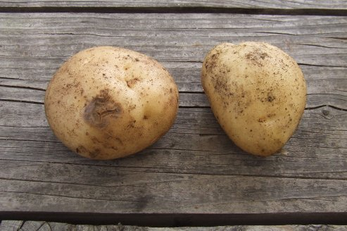 Summer Delight potatoes. The one on the left has a patch of blight. Fortunately, most of the potatoes looked fine, like the one on the right.