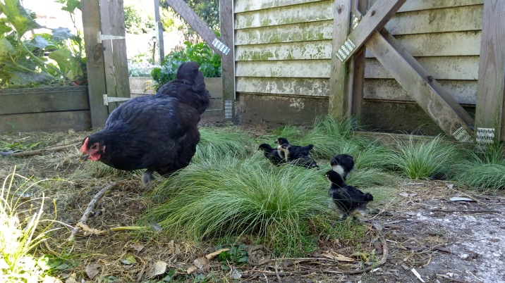 Paris has her chicks ranging all over the place, chasing off anyone who gets in her way.