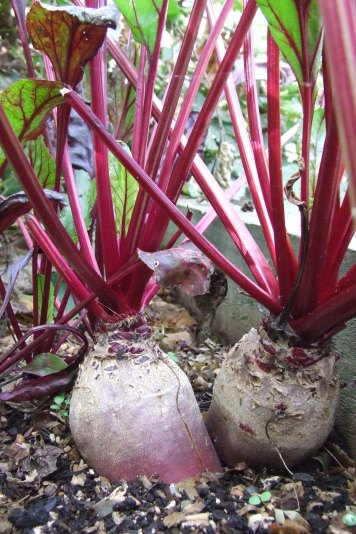 The beetroot is growing well. This variety is Cylindra, which seems to do better here than Detroit Dark Red.