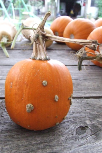 The Little Fulla's oddest pumpkin, which he grew in his vege garden.