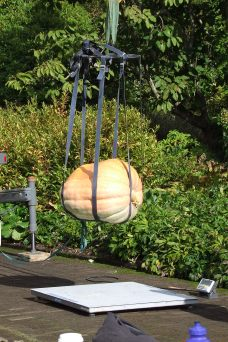 Just casually weighing a giant pumpkin.