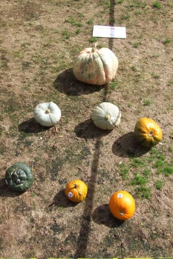 Oddest Pumpkin, Open Class.