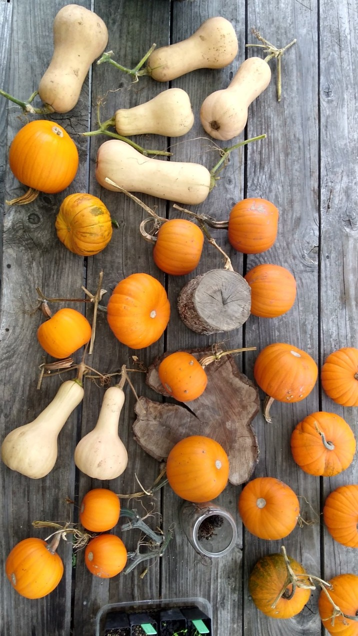 Some of the pumpkins and squashes.
