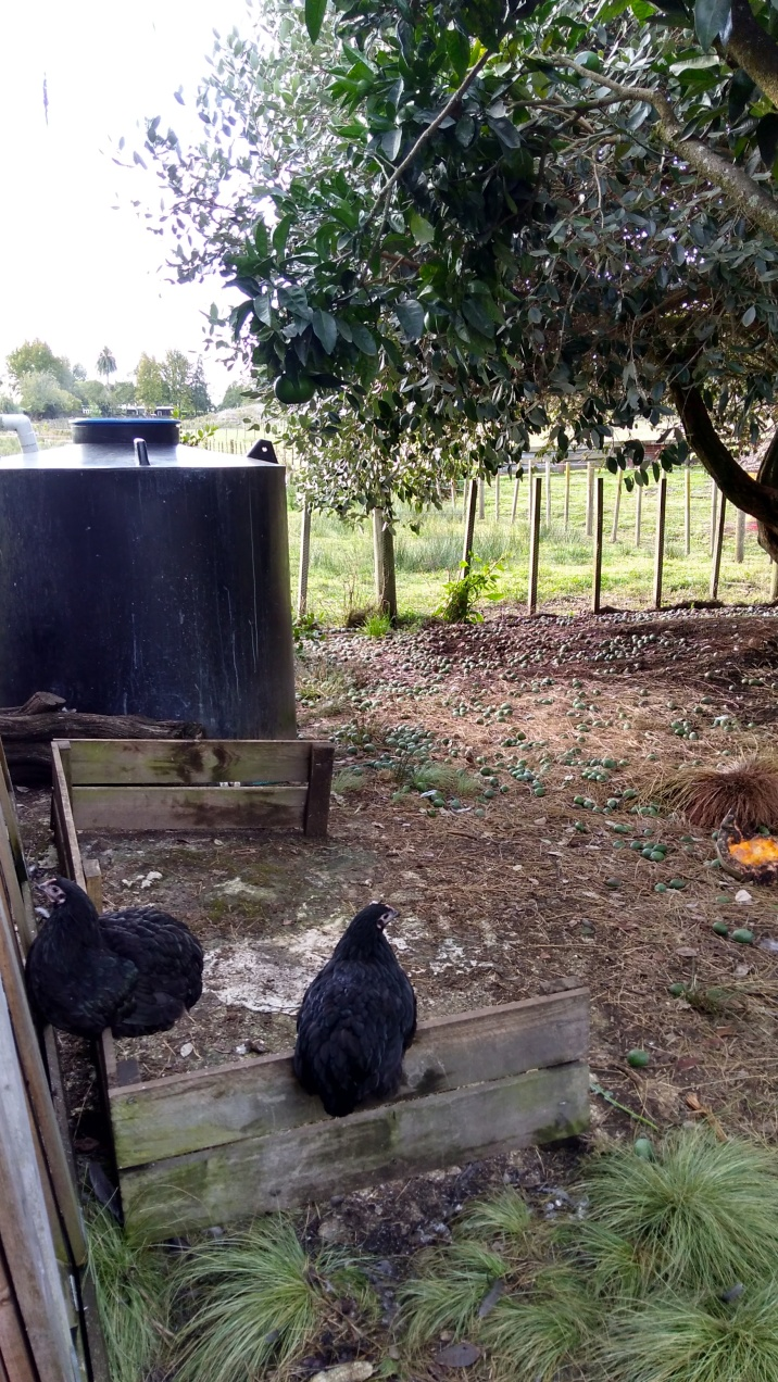 We will use the top section to make another compost bin in the Orchard Pen. Except I actually want to make two big ones. The chickens are excited already because they like sitting on it. Two of Paris' young girls are demonstrating here. Also note some of the abundance of feijoas.