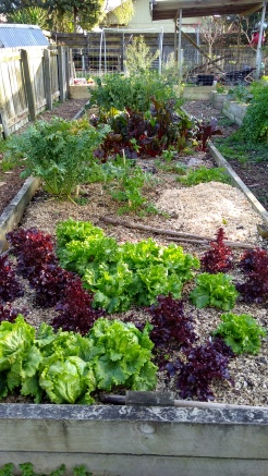 There has been plenty of lettuce, as well as other salad greens, all winter long.
