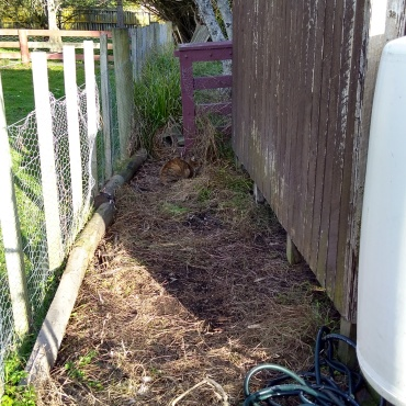 The spot behind the potting shed has been cleared of all timber and other bits. The gap where Nala is has been fenced off and I am thinking about what to do with this space. The current frontrunning idea involves a berry bed.