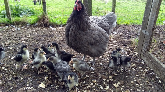 As usual, Frodo is doing a top notch job raising the chicks.