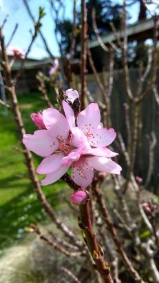 Almond 'Garden Prince'.