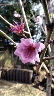 Peach 'Springcrest'.