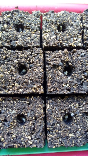 The seeds germinating.