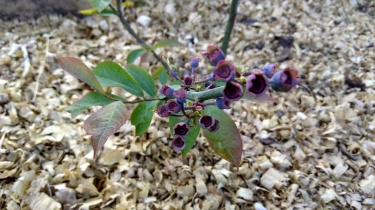 Blueberries are on the way!
